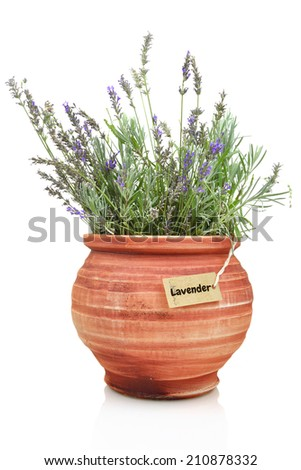 Fresh lavender plant in a clay pot - stock photo