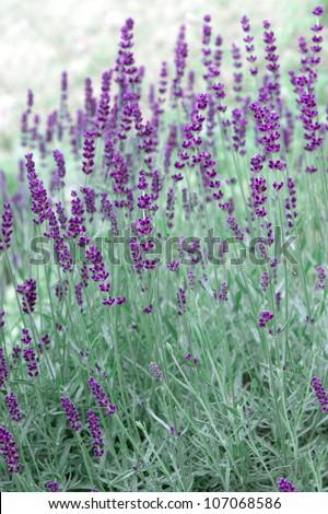 fresh lavender plants outdoors. selective focus - stock photo