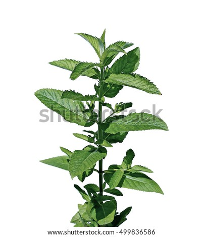 Fresh leaves of mint isolated on white background