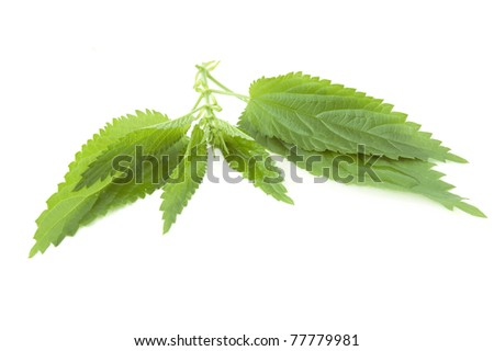 Fresh leaves of nettle with drop isolated on white