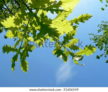 fresh leaves of oak in spring - stock photo