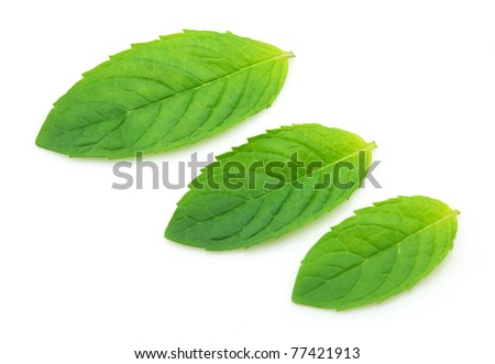 Fresh leaves of peppermint - stock photo