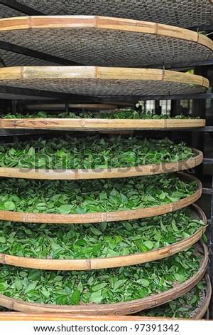 Fresh leaves of tea - stock photo