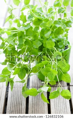 Fresh lemon balm herb in a pot .(Melissa officinalis) - stock photo