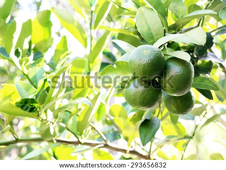 fresh lemons on tree in garden