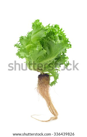 Fresh lettuce or salad  Hydroponics Green, Clean and Healthy isolate - stock photo