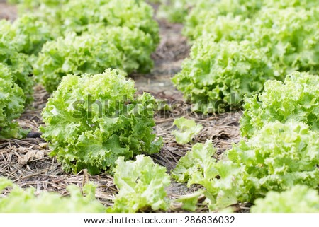 Fresh lettuce plants on a fertile field, ready to harvested - stock photo