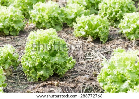 Fresh lettuce plants on field, ready to harvested - stock photo