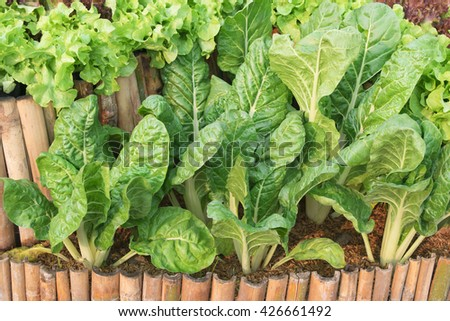 Fresh lettuces growing  in garden at home - stock photo