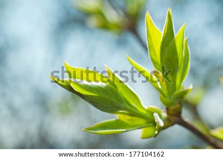 fresh lilac leaves at springtime