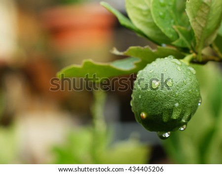 fresh lime fruit with water drop - stock photo