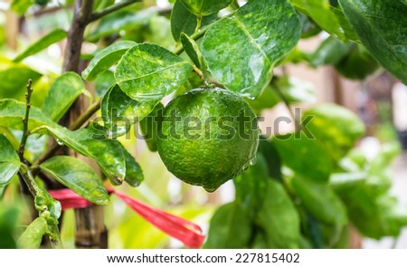 Fresh lime with water drops on lemon trees. - stock photo