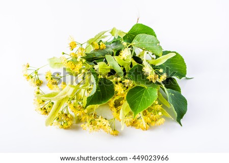 Fresh linden flowers isolated on white background, herbs used as remedy for treatment cold and flu