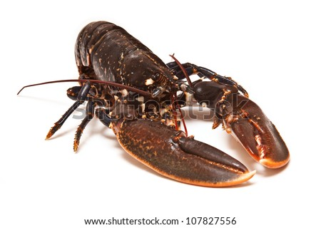 Fresh lobster (common European) Homarus gammarus isolated on a white studio background. - stock photo
