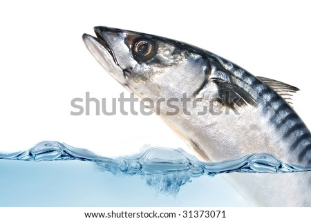 Fresh Mackerel fish jumping out of the water. - stock photo