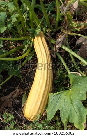 Fresh marrow (also known as courgette) in the garden, ready to be picked. The flower is also edible. Focus on the vegetable marrow - stock photo