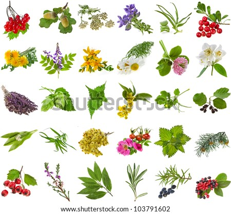 Fresh medicinal  aromatic and culinary herbs, leaves, berries, plant, flowers - collection set isolated on white background - stock photo
