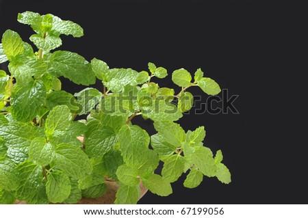 fresh mint from kitchen garden - stock photo