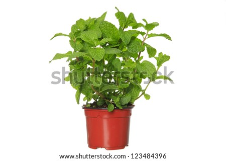 Fresh mint herb on a pot over white.