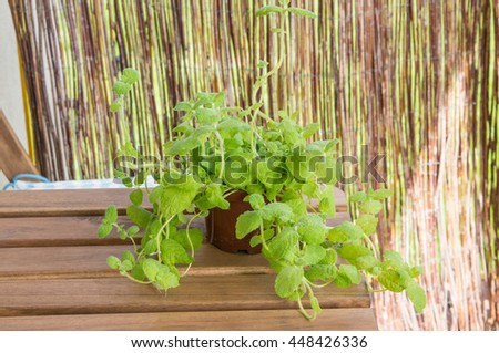 Fresh mint plant in a pot - stock photo