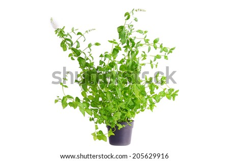 Fresh mint plant in flowerpot isolated on white background - stock photo