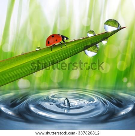Fresh morning dew and ladybird. Nature background. - stock photo