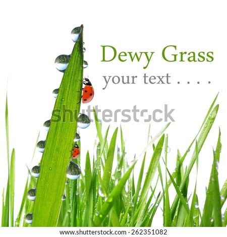 Fresh morning dew and ladybirds on white background. - stock photo