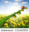 fresh morning dew and ladybug - stock photo