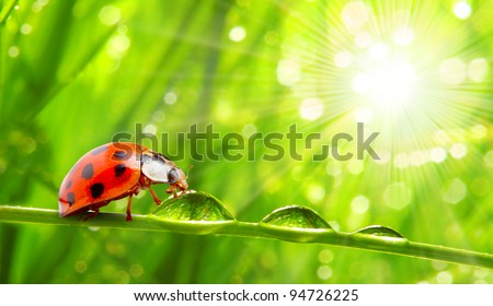 Fresh morning dew on a spring grass and little ladybug, natural background. Sunny day concept. Close up with shallow DOF.