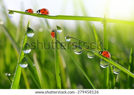 Fresh morning dew on green grass and ladybirds - stock photo