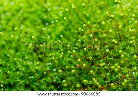 Fresh moss in green nature or in old stone or old wall