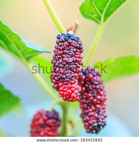 Fresh mulberry on tree - Berry fruit in nature - stock photo