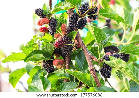 Fresh mulberry on tree - Berry fruit in nature, mulberry twig - stock photo