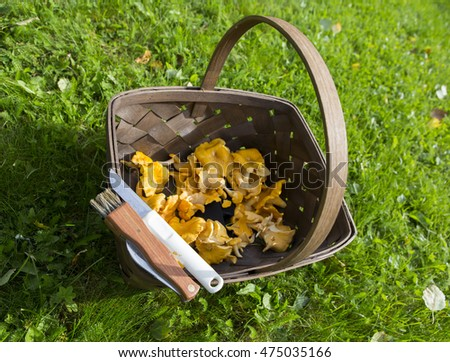 Fresh mushrooms on a wooden basket. The mushrooms are chanterelles. There is also the tools for picking up mushrooms, a knife and a brush. Focus point is on the white knife.