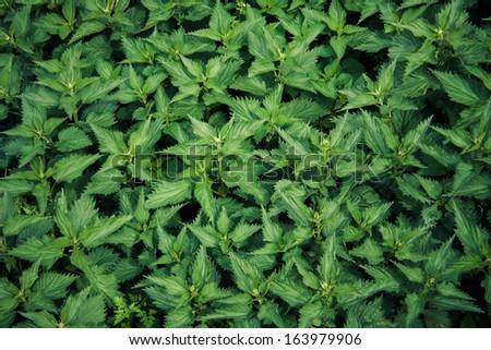 Fresh nettle - stock photo