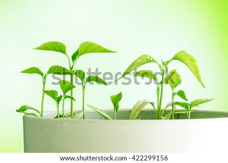 Fresh new green plants of chili in a white pot - stock photo