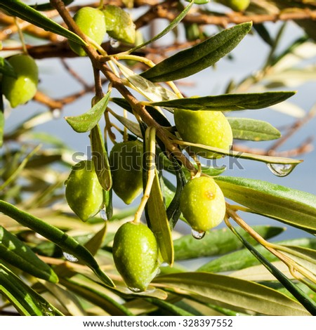 Fresh olives on olive tree in Crete, Greece