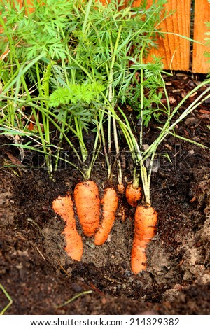 Fresh orange carrots growing in the soil - stock photo