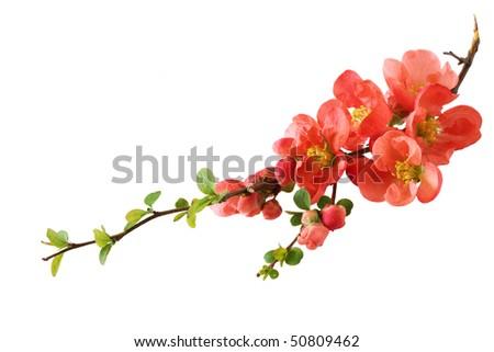 Fresh orange cherry blossom isolated on white - stock photo