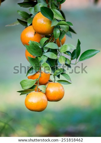 fresh orange hang on tree - stock photo