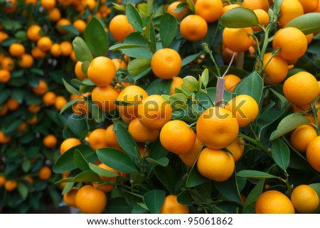 fresh orange on plant, orange tree - stock photo