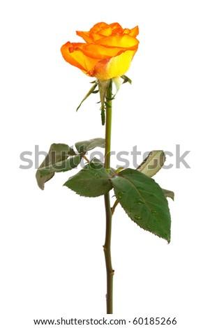 Fresh orange roses on a white background - stock photo