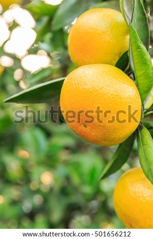 Fresh oranges grow on the tree