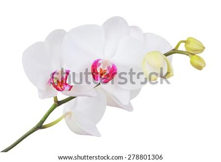 Fresh orchid flower, isolated on white background, DOF - stock photo