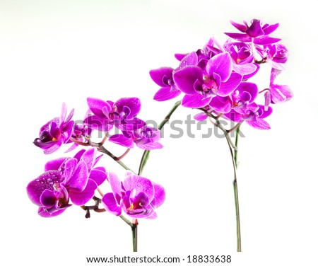 Fresh orchids with white background