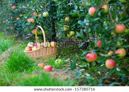 Fresh organic apples in a basket - stock photo