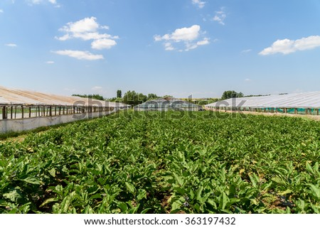 Fresh Organic Aubergine Plants On Agricultural Field - stock photo