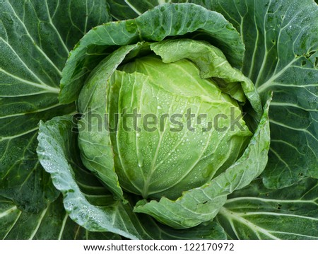 Fresh organic cabbage - stock photo
