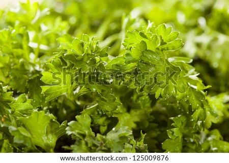 Fresh Organic Green Parsley in a brown basket