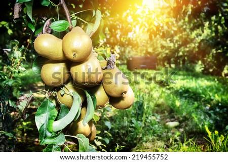 Fresh organic pears on tree branch - stock photo